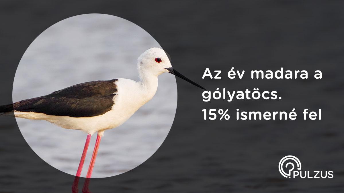 Pulzus kutatás - gólyatöcs az év madara