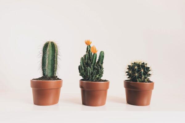 Jótékony szobanövények – Pulzus közvéleménykutatás